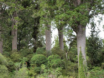 Kauri Trees on the Four Sisters Walking Track Stock Photos