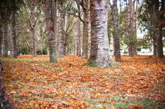 Kauri trees and leaves in a park stock photography