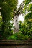 Kauriboom Royalty-vrije Stock Afbeelding