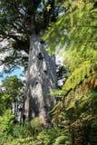 Kauriträd 2000 gamla år Fotografering för Bildbyråer