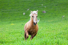 Kaury horse with a white mane Royalty Free Stock Photography
