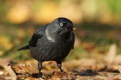 Kauw - Corvus-monedula Stock Afbeelding