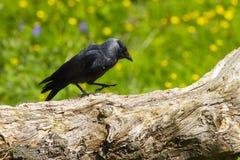 Kauw (monedula Corvus) stock afbeeldingen