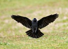 Kauw, Westelijke Kauw, Corvus-monedula stock foto