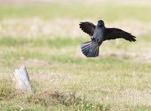 Kauw, Westelijke Kauw, Corvus-monedula royalty-vrije stock fotografie