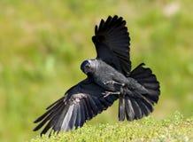Kauw, Western Jackdaw, Corvus monedula stock images