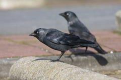 Kauw, Western Jackdaw, Corvus monedula royalty free stock image