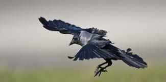 Kauw, Western Jackdaw, Corvus monedula royalty free stock images