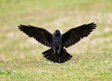 Kauw, Western Jackdaw, Corvus monedula stock photo