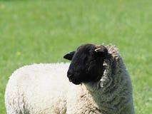 Kauwende schapen in padieveld stock afbeelding