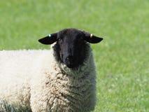 Kauwende schapen in padieveld stock foto's