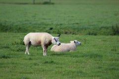 Kauwende schapen in padieveld Royalty-vrije Stock Fotografie