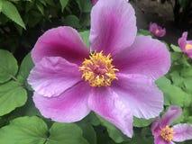 Kavachensis raro Aznav di Paeonia di specie del fiore della peonia selvatica immagine stock libera da diritti