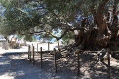 Kavousi Moumental橄榄树  免版税库存图片