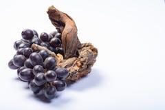 Kawałek stara winorośl i wiązka czarni winogrona na białym tle zdjęcia royalty free