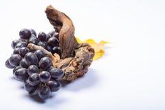 Kawałek stara winorośl i wiązka czarni winogrona na białym tle fotografia royalty free