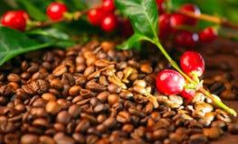 Kawa Istna kawowa roślina na piec kawowych fasolach Zdjęcia Royalty Free