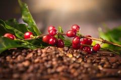 Kawa Istna kawowa roślina na piec kawowych fasolach Obrazy Royalty Free