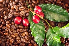 Kawa Istna kawowa roślina na piec kawowych fasolach Fotografia Royalty Free