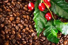 Kawa Istna kawowa roślina na piec kawowym tle Obrazy Stock
