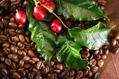Kawa Istna kawowa roślina na piec kawowym tle Zdjęcie Royalty Free