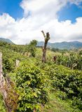 Kawa uprawia ziemię w san luis De Heblujący, Honduras Zdjęcia Royalty Free