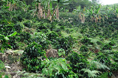 Kawa w Kolumbia Zdjęcia Royalty Free