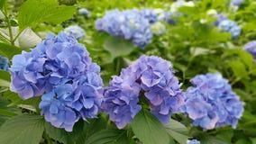 Kawaguchiko蓝色开花 图库摄影