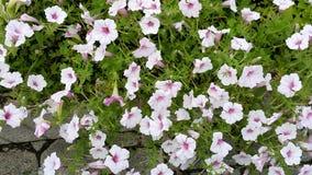 Kawaguchiko pouca flor Foto de Stock