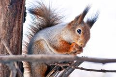 Kawaii furry red squirrel in the pine forest, late autumn, winter begins. Cute red squirrel Sciurus Vulgaris in the forest royalty free stock images