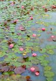Kawaii Lotus Flowers Immagine Stock