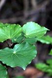 Kawakawa (dudziarza excelsum) Zdjęcia Royalty Free