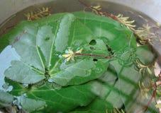 Kawakawa herbata Fotografia Stock