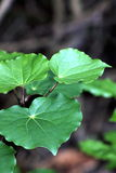 Kawakawa (Pijperexcelsum) Royalty-vrije Stock Foto's