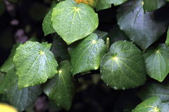 Kawakawa (Piper excelsum) Royalty Free Stock Photos