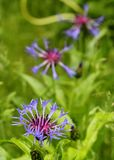 Kawalera guzik (Centaurea Montana) Obraz Royalty Free