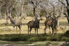 Kawalera stado kudu Fotografia Royalty Free