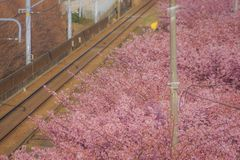 Kawazu cherry tree and Keikyu line Miurakaigan. Shooting location :  Yokohama-city kanagawa prefecture stock photo