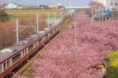 Kawazu cherry tree and Keikyu line Miurakaigan. Shooting location :  Yokohama-city kanagawa prefecture royalty free stock images