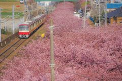 Kawazu cherry tree and Keikyu line Miurakaigan. Shooting location :  Yokohama-city kanagawa prefecture stock photos