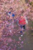 Kawazu cherry tree and people. Shooting location :  Yokohama-city kanagawa prefecture stock photo