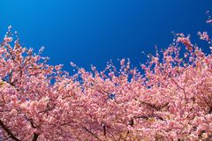 Kawazu cherry trees in full bloom Royalty Free Stock Image