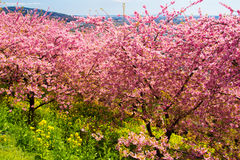 Kawazu cherry trees with rapeseed field. In full bloom. An image of Japanese Spring Royalty Free Stock Image