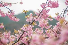Kawazu Japan f?r k?rsb?rsr?da blomningar arkivbild