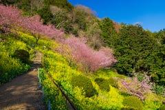Kawazu-Kirschbäume mit Rapssamenfeld Stockfoto