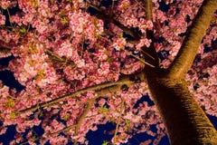 Kawazu-Kirschbaum nachts Stockfoto