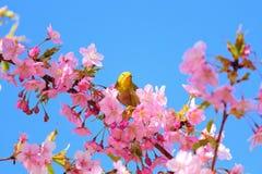 Kawazu-Kirschblüten mit einem Weißaugenvogel Stockfotos