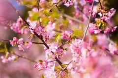 Kawazu-Kirschblüten mit einem Weißaugenvogel Lizenzfreies Stockfoto