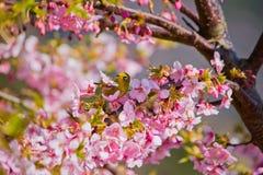 Kawazu-Kirschblüten mit einem Weißaugenvogel Stockbilder