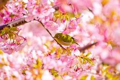 Kawazu-Kirschblüten mit einem Weißaugenvogel Stockfoto